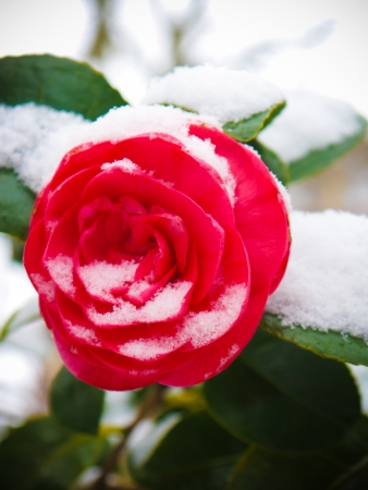 Early spring Rose in the snow photo