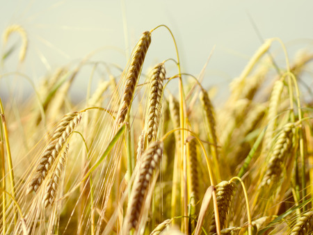 chafe: close up of a wheat field