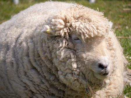 Close up of  sheeps head