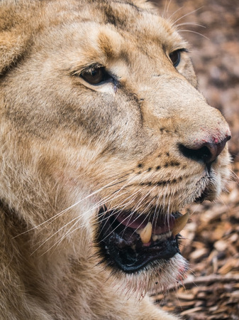 close up of the head of a lioness Stock Photo
