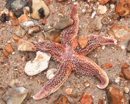 A common starfish on the beach