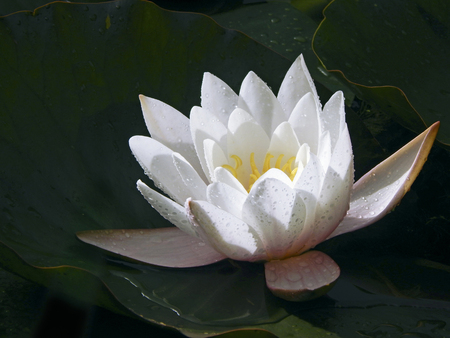 A charming snow-white water-lily is floating on the surface of the lake. The flower is gleaming in the sunlight on the background of dark leaves.