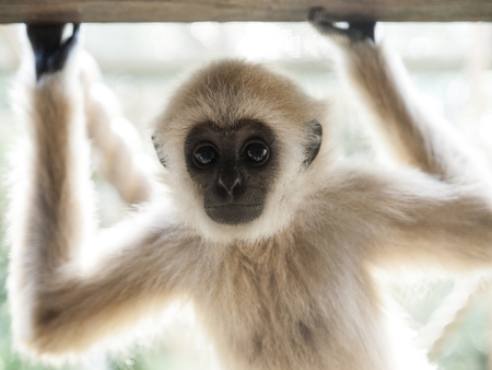 A baby lar gibbon ape, Hylobates lar, has rose his hands and is looking at camera Stock Photo