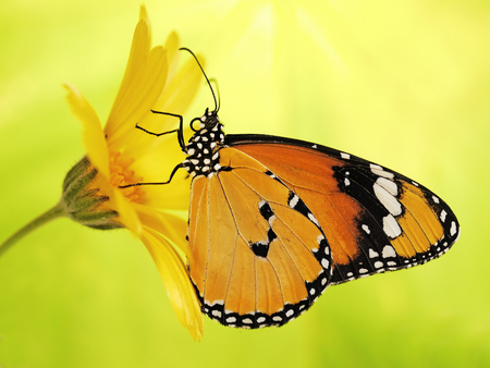 Plain tiger butterfly, Danaus chrysippus, on a marigold flower. Plain tiger is the most widespread butterfly in the world. The bright orange butterfly on yellow flower show on blurred background