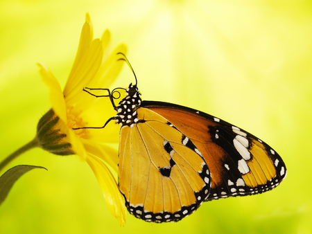 Plain tiger butterfly, Danaus chrysippus, on a marigold flower. Plain tiger is the most widespread butterfly in the world. Bright orange butterfly and yellow flower show up on blurred background Stock Photo