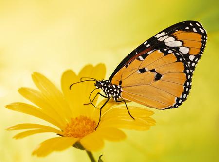Le papillon tigre simple, Danaus chrysippus, se nourrit d'une fleur de souci. Le tigre simple est le papillon le plus répandu au monde. Papillon orange vif et fleur jaune apparaissent sur fond flou