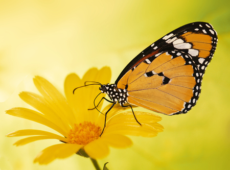 Plain tiger butterfly, Danaus chrysippus, feeds on a marigold flower. Plain tiger is the most widespread butterfly in the world. Bright orange butterfly and yellow flower show up on blurred background Stock Photo