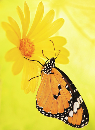 Plain tiger butterfly, Danaus chrysippus, on a marigold flower. Plain tiger is the most widespread butterfly in the world. Bright orange butterfly and yellow flower show up warm on blurred background. Stock Photo