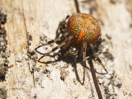 Marbled orb-weaver, or garden cross spider, Araneus marmoreus, sits on a wood surface. The orange spider is lightened with the evening sunlight.