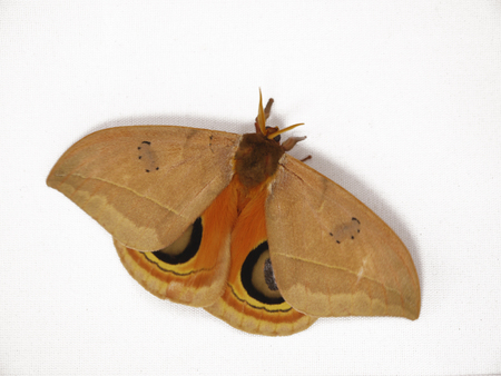Automeris excteta moth from mountains of Mexico. Automeris moths fly at night and have imperceptible forewings and bright images of eyes on the hindwings. Its caterpillars have stinging bristles.