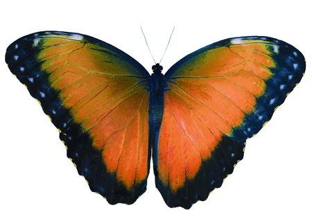 Orange butterfly isolated on white background with wings open. Color change of blue morpho butterfly, Morpho peleides.