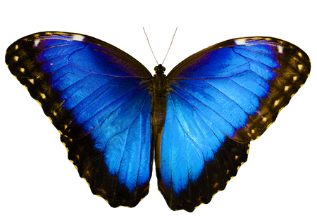 Blue morpho butterfly, Morpho peleides, isolated on white background with wings open. Color saturated.