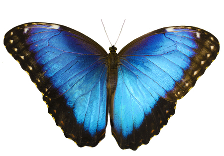 Blue morpho butterfly, Morpho peleides, isolated on white background with wings open.