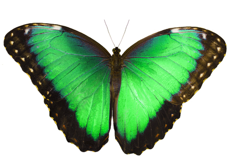 Green butterfly isolated on white background with wings open. Color change of blue morpho butterfly, Morpho peleides. Stock Photo