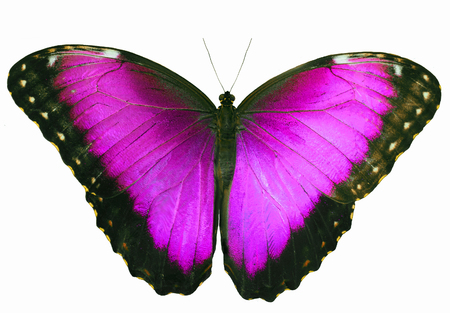 Red violet butterfly isolated on white background with wings open.