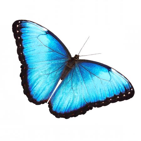 明るい乳白色ブルーモルフォ蝶、モルフォ helenor marinita 男性の羽開放で白い背景上に分離。