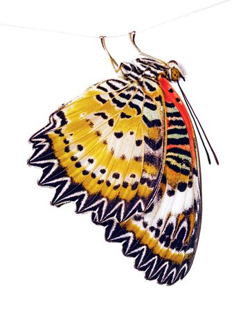 The leopard lacewing butterfly, Cethosia cyane, is hanging on a fiber. The bright orange butterfly is isolated on white background. Marking on the wings look like lace or ligature script. Stock Photo