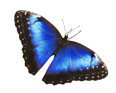 Bright opalescent blue morpho butterfly, Morpho helenor marinita female, isolated on white with wings open.