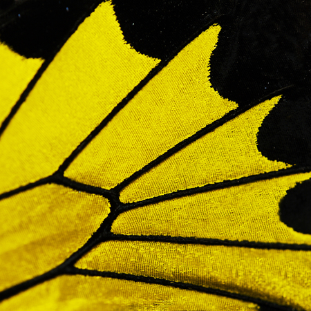 A fragment of a bright yellow and black wing of a golden birdwing butterfly from the Philippines, Triodes rhadamantus. Butterfly wing is devided into cells with veins, and covered with scales. 스톡 콘텐츠