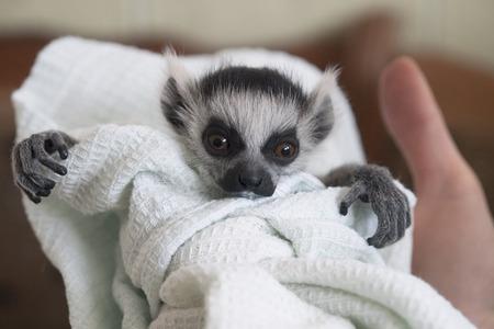 A hand-reared baby ring-tailed lemur swaddled in a linen is looking. A hand holds the animal child. The lemur has fluffy grey hair, a touching snout, crooked fingers, and big expressive orange eyes. Stock Photo
