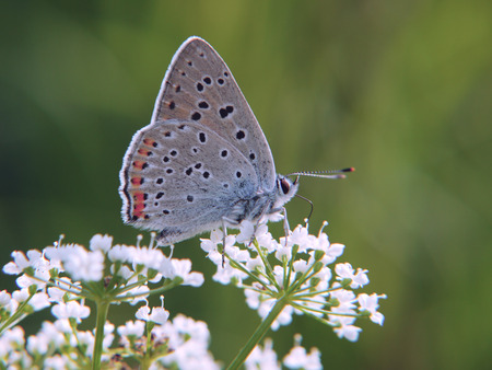 The purple-shot copper butterfly, Lycaena alciphron, feeds on flowers of a beacked chervil. The butterfly has wings closed with underside colored with blue with some orange spots. Stock Photo