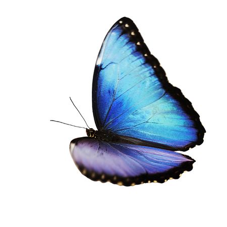 The bright opalescent blue morpho butterfly, Morpho helenor marinita male, isolated on white background. The butterfly is flying with one wing opalesce more than another.