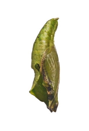 Green pupa of the tropical blue wave, blue-banded purplewing, or royal blue butterfly, Myscelia cyaniris, isolated on white background. Pupae is a stage between caterpillars and butterflies. Side view Stock Photo
