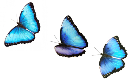 A collage of isolated flying bright opalescent blue morpho butterflies, Morpho helenor marinita. The butterflies are flying one by one on white background. For a postcard, greeting card or wallpaper Stock Photo