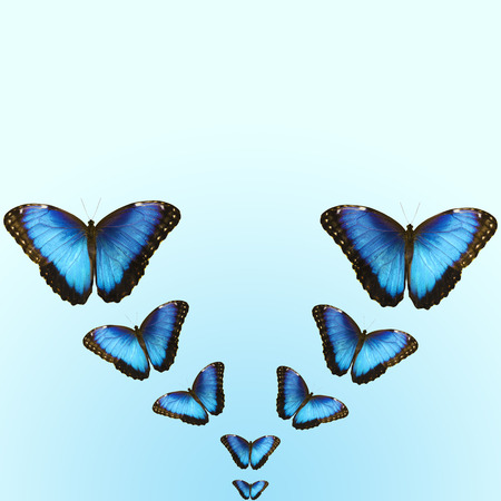 Collage of isolated flying out in V-shape bright opalescent blue morpho butterflies. The butterflies are isolated on light blue background. For a postcard, greeting card or wallpaper with copy space