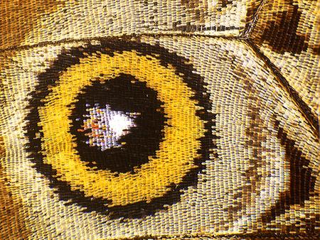Oeil jaune sur un fragment d'aile situé sous le papillon morpho bleu, Morpho peleides. Les cellules, les veines et les écailles d'une aile de papillon sont parfaitement visibles sur l'image à fort grossissement.