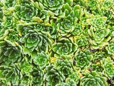 A flower-bed of Crassulaceae green ornamental plant with small elegant leaves in summer makes an abstract background
