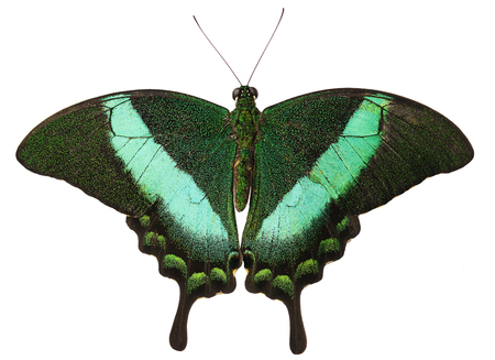 The green-banded peacock butterfly, or emerald swallowtail, Papilio palinurus, from the Philippines isolated on white background with its wings open. The butterfly has tails and green stripes on wings Banco de Imagens