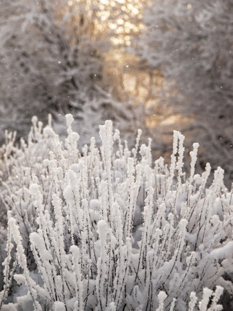 Christmas fairy tale snow scenary. Winter cloudy landscape with frost on branches of the trees. A dramatic hoary bush and big trees on he background