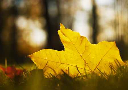 A yellow maple leaf on the ground. Some grass, blurred background. The colors of the fall. Stock Photo