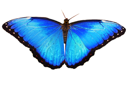 The opalescent bright blue morpho butterfly, Morpho helenor marinita male, isolated on white background with wings open.