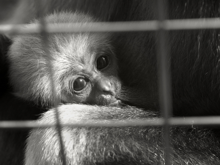 A baby lar gibbon ape, Hylobates lar, in a zoo behind the bars. A young monkey has big dark expressive eyes and childly-looking snout. A headshot in black and white Stock Photo