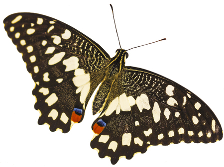 A lime swallowtail butterfly, Papilio demoleus, from the South-East Asia, with its wings spread isolated on white background