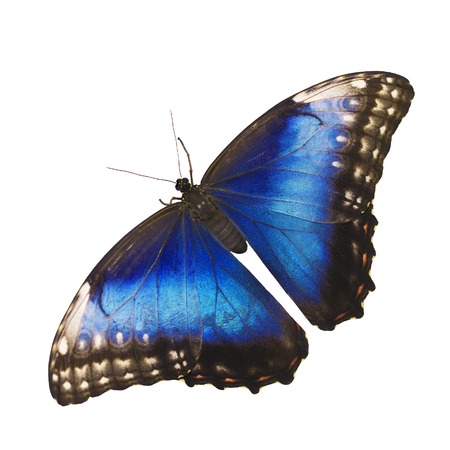 Bright opalescent blue morpho butterfly, Morpho helenor marinita female, isolated on white background with wings open.