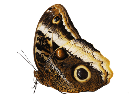 The yellow-edged giant owl butterfly, Caligo atreus, isolated on white background with wings closed. A big eyespot and a yellow stripe are seen on the underside of its wings.