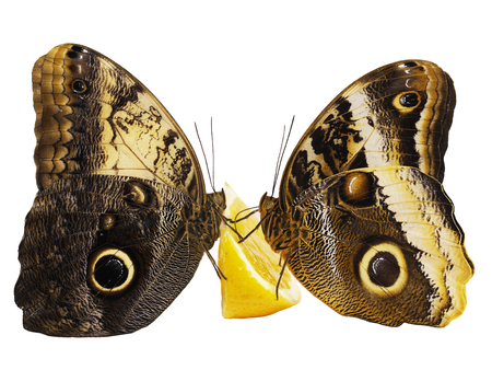 Two giant owl butterflies, the forest one Caligo eurilochus, and the yellow-edged one Caligo atreus, are feeding on a slice of an orange fruit with wings closed vis-a-vis. Isolated on white background