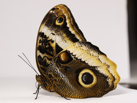 The yellow-edged giant owl butterfly, Caligo atreus, is sitting with wings closed. A big eyespot and a yellow stripe are seen on the underside of its wings. White background with shadows Stock Photo