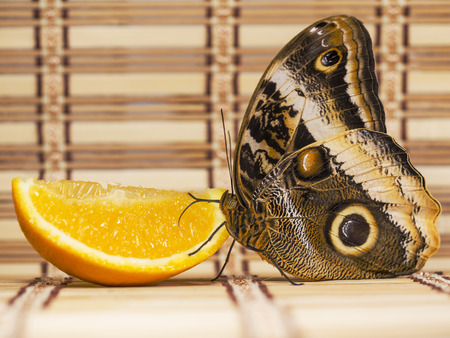 The yellow-edged giant owl butterfly, Caligo atreus, is feeding on a slice of an orange fruit with wings closed. A big eyespots are seen on the wings. Straw overlay background