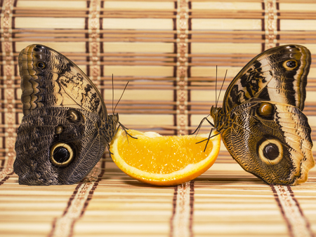 Two giant owl butterflies, the forest one Caligo eurilochus, and the yellow-edged one Caligo atreus, are feeding on a slice of an orange fruit with wings closed vis-a-vis. Straw overlay background 스톡 콘텐츠