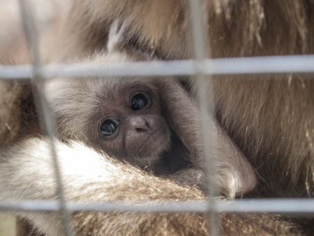 A baby lar gibbon ape, Hylobates lar, with his mother in a zoo behind the bars. A young monkey has big dark expressive eyes and childly-looking snout. A headshot half-turned Stock Photo