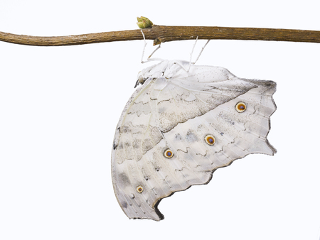 The forest, or common, mother-of-pearl butterfly, Salamis parhassus. The light grey butterfly with wings closed isolated on white background Stock Photo