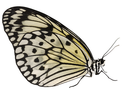 A paper kite butterfly, rice paper butterfly or large tree nymph, Idea leuconoe, isolated on white background. The big white butterfly with black spots sits with its wings closed. Side view.