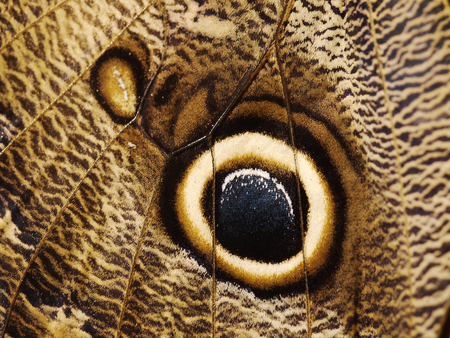 A fragment of a wing of butterfly a forest giant owl butterfly, Caligo eurilochus. The wing is brown with fine dark pattern and a big eye-like spot to scare off the predators