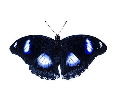 Common eggfly, or great eggfly, or blue moon butterfly, Hypolimnas bolina, isolated on white background. The butterfly is black with white spots opalizing to blue