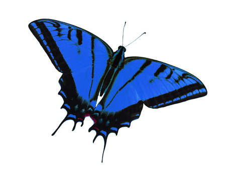 Two-tailed swallowtail butterfly, Papilio multicaudata, isolated on white background. The largest of the US tiger sawllowtails, this one has even three tails on each wing. Color change to blue
