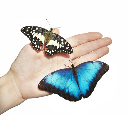Two butterflies, yellow lime swallowtail and blue morpho, sit on girl's hand. The butterflies spread their wings on child's palm. Isolated on white background 스톡 콘텐츠